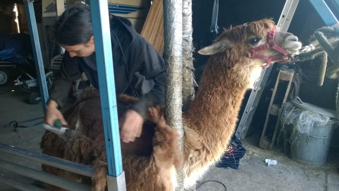 Alpaka - Schur Tierschonend